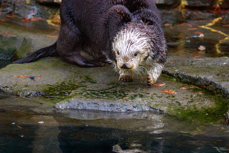Sea Otter plays on the river bank.