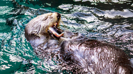 sea otter: A Sea Otter feeding on small chunk of food in the water.