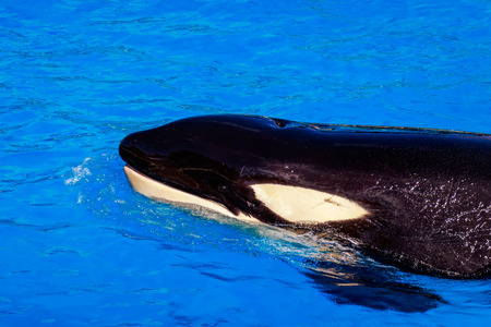orificio nasal: A Killer whale floats in water showing blowhole.