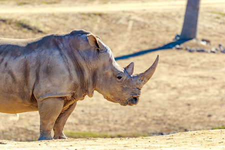 san diego: Adult southern white rhinoceros roaming on the dry land.