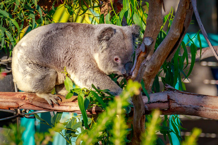 united states of america: A cute koala climbs on the tree branch, under the sunshine. Stock Photo