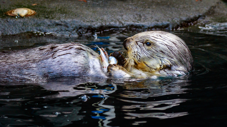 A Sea Otter feeding on small chunk of food in the water.