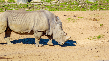 roaming: Adult southern white rhinoceros roaming on the dry land.