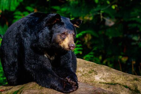 ursus americanus: Close-up of an american black bear, sunbathing on a rock.