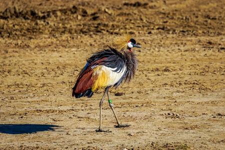 Une grue couronnée africaine marchant sur la terre ferme. Banque d'images - 50960560