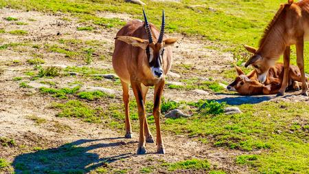 bovidae: A Roan Antelope walking across the grassland.