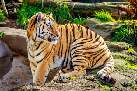 siberian tiger: Close-up of Siberian tiger, also known as Amur Tiger (Panthera tigris altaica). Stock Photo
