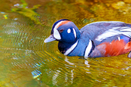 harlequin: A Male Harlequin Duck swims on the lake. Stock Photo