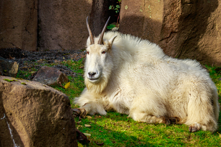 bovidae: A white mountain goat sitting on the slope, sunbathing.