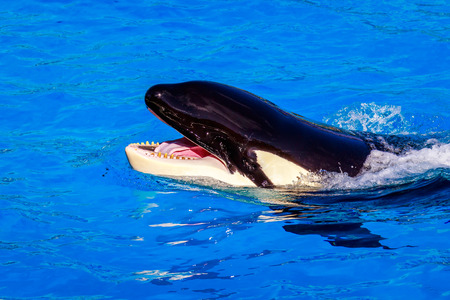 oceanic: A killer whale (Orca) showing some teeth above water. Stock Photo