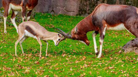 bovidae: A small Spekes gazelle challenges a much larger Bontebok Antelope for headbutting.