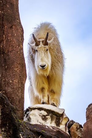 bovidae: A white mountain goat standing on the rock. Stock Photo
