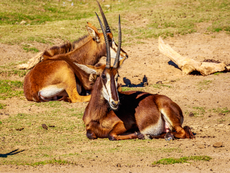 sable: A group of Sable Antelopes resting on the dry land with sparse grass.