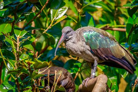 ibis: A Hadada Ibis perches on tree branch.