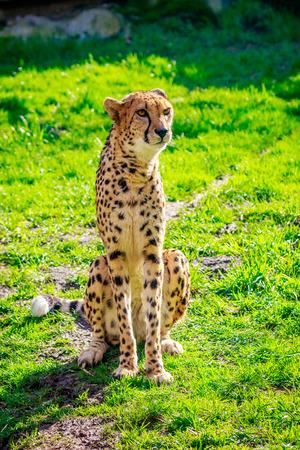 amur: An Amur leopard sits on the grass.