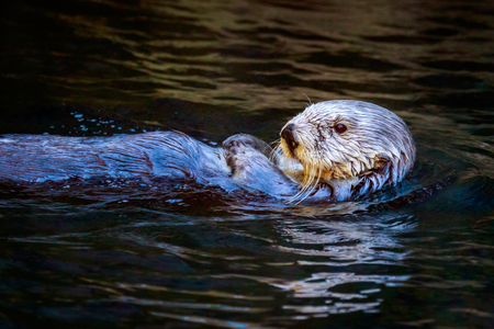 sea otter: Close-up of a southern sea otter swims in the water. Stock Photo
