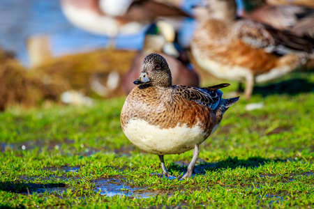 A female american wigeon stands by the lake, with a group of wigeons in the background.