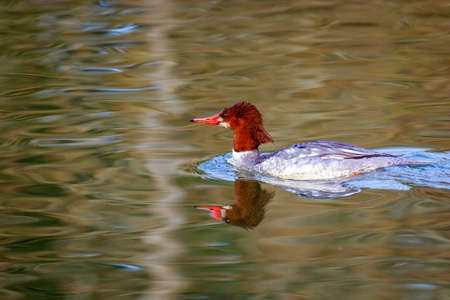 A female common merganser swims in the lake, with reflection in the water.