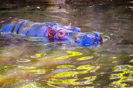 A Hippopotamus submerged in water, with eyes showing.