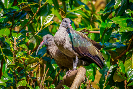 ibis: Two Hadada Ibis perch on tree branch.