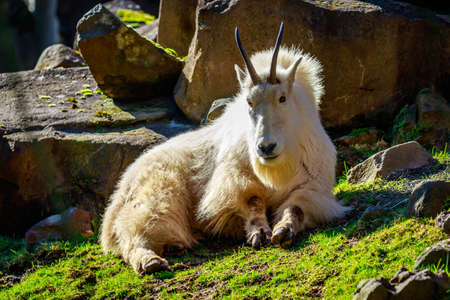 bovidae: Rocky mountain goat roams and rests on the mountain slope.