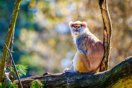 hussar: A Patas Monkey sits on the tree branch. Stock Photo