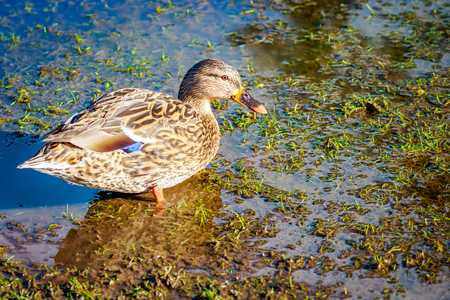 A female mallard duck wades on wetland.