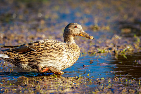 dabbling duck: A female mallard duck strides across the wetland.