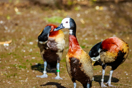 whistling: A group of White-faced Whistling ducks hang around leisurely.