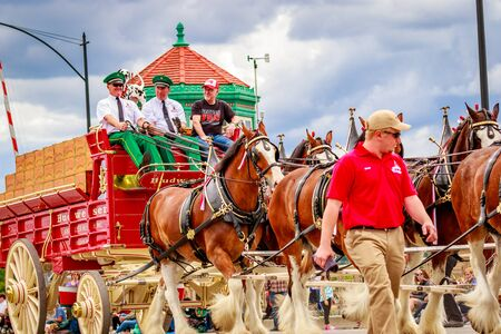 budweiser: Portland, Oregon, USA - June 11, 2016: World Famous Budweiser Clydesdales in the Grand Floral Parade during Portland Rose Festival 2016. Editorial