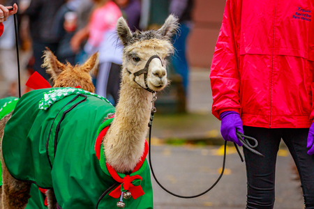 Portland, Oregon, USA - November 25, 2016: The Llamas of Southwest Washington in the annual My Macys holiday Parade across Portland Downtown.