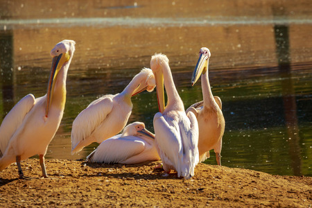 A group of Great White Pelicans rest by the lake. Stock Photo