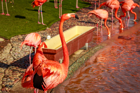 A group of American Flamingos wade in water.
