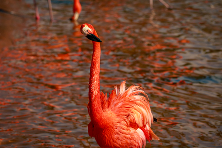 Close up of American Flamingos wade in water.