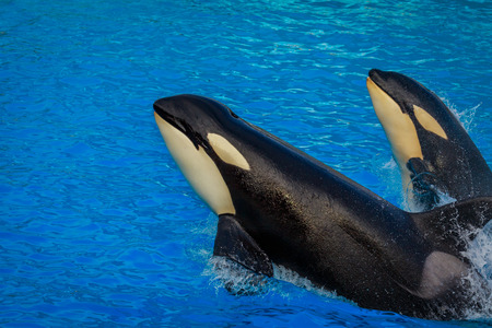 Two killer whales  (Orca) swim through water.