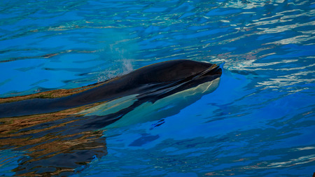 A killer whales  (Orca) plays in water.