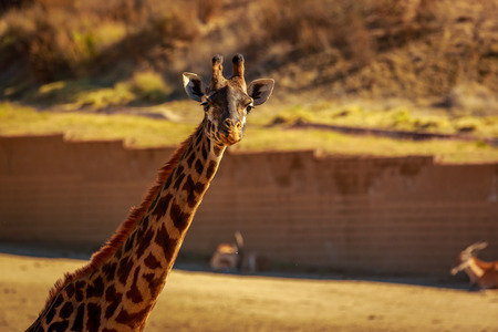 Close-up portrait of Giraffe headshot and its upper neck