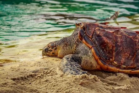 Hawksbill Sea Turtle rests in sand