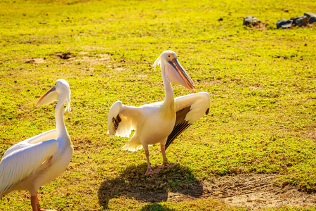 A group of Great white pelicans play around. Stock Photo