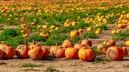 Halloween Pumpkin Patch field perfect background image. Stock Photo