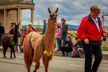 Portland, Oregon, USA - June 8, 2019: The Llamas of Southwest Washington in the Grand Floral Parade, during Portland Rose Festival 2019.