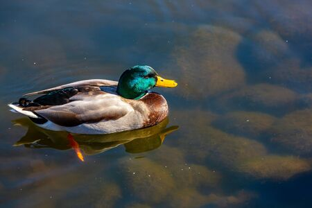 A male mallard duck swims across a pond.
