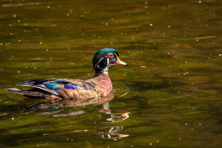 Male wood duck in water, with distinctive multicolored iridescent plumage and red eyes