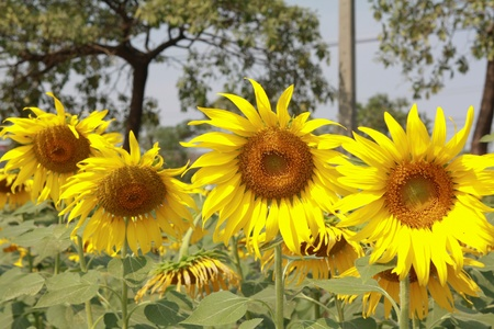 Girasoli in un campo photo