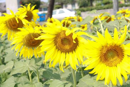 Sunflowers in a Field  photo