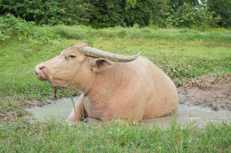 soak: Image of albino buffalo a Soak the mud happy eye stretches in green pastures . With the sun in the evening.