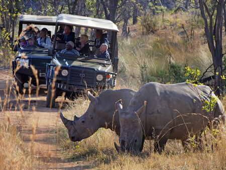 game drive: Welgevonden,South Africa, 02 OCT 2015_ Rhinos block the path of game drive vehicles at Welgevonden Private Game Reserve north of Pretoria in South Africa.