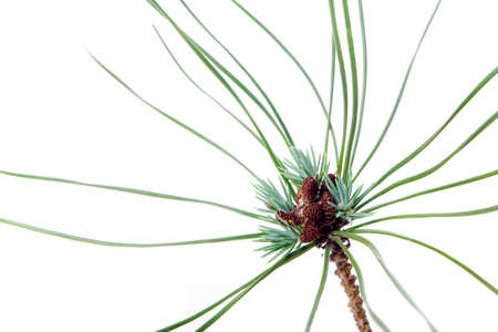 pine needles close up: Young pine branch detail isolated on white background, a macro studio shoot