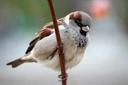 passer    by: Sparrow aka Passer Domesticus