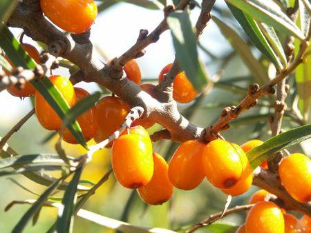 argousier: Argousier Les baies ou Hyppophae Rhamnoides